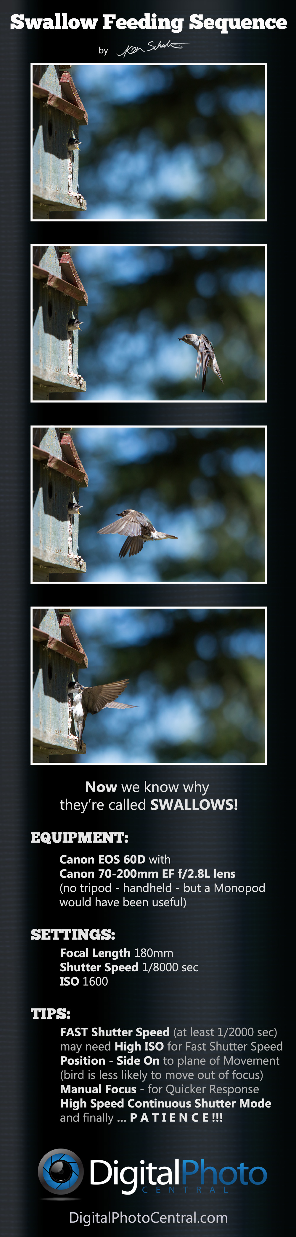 SwallowfeedingSequenceInfo Bird Photography: Swallow Feeding Sequence